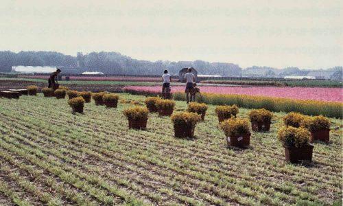 Erntezeit der Trockenblumen Holland 1979